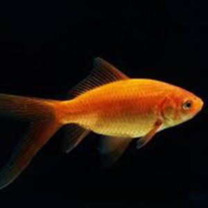 Koudwater vissen